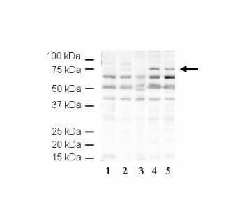 Western blot - Anti-Hallen antibody (ab5421)