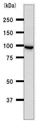 Western blot - Methionyl tRNA synthetase antibody [MARSD10B4] (ab50793)