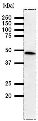 Western blot - TRIP13 antibody [3175D1] (ab50886)