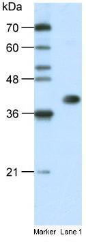 Western blot - HNRPA3 antibody (ab50949)