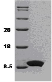 SDS-PAGE - IL8 protein (ab51095)