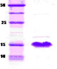 SDS-PAGE - alpha Synuclein protein (ab51178)