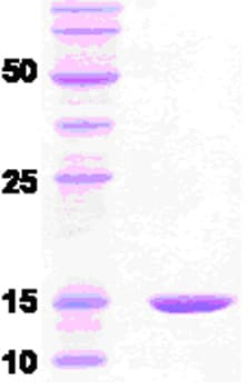 SDS-PAGE - Cpn10 protein (ab51308)