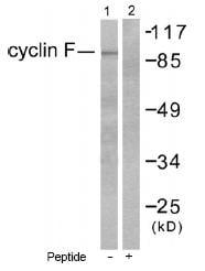 Western blot - Cyclin F antibody (ab53055)