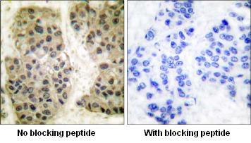 Immunohistochemistry (Paraffin-embedded sections) - GANP antibody (ab53083)