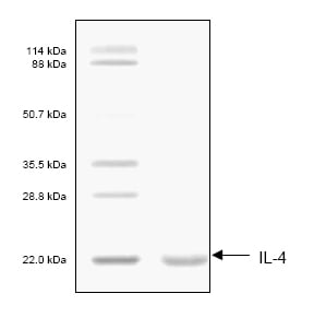 SDS-PAGE - IL4 protein (His tag) (ab53342)