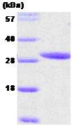 SDS-PAGE - 14-3-3 epsilon protein (ab54317)