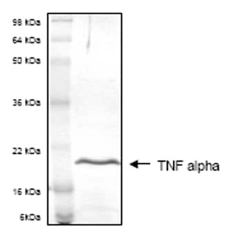 SDS-PAGE - TNF alpha protein (His tag) (ab55237)