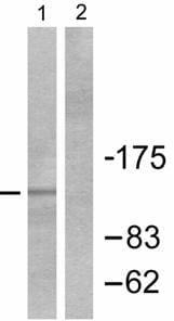 Western blot - PYK2 antibody (ab55358)