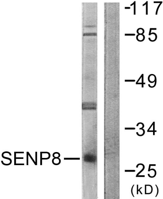 Western blot - SENP8 antibody (ab58423)