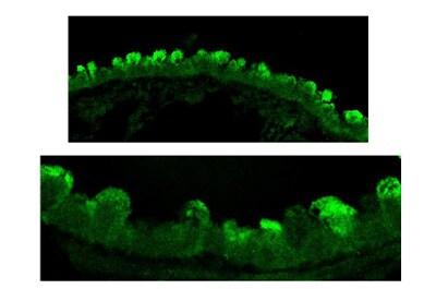 Immunohistochemistry (Formalin/PFA-fixed paraffin-embedded sections) - Anti-Clathrin antibody (ab59710)