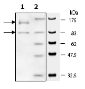 SDS-PAGE - PI 3 Kinase p110 delta + PI 3 Kinase p85 alpha protein (ab60892)