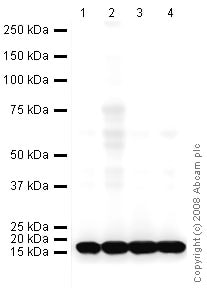 Western blot - Anti-COX IV antibody [mAbcam33985] - Mitochondrial Marker (HRP) (ab62164)