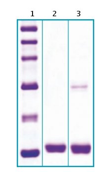 SDS-PAGE - Fatty Acid Binding Protein 4 protein (ab63283)