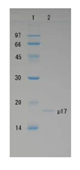 SDS-PAGE - HIV1 p17 protein (ab63981)
