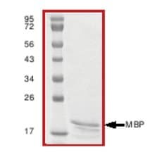 SDS-PAGE - Myelin Basic Protein protein (ab64311)