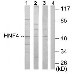Western blot - Anti-HNF-4-alpha + HNF-4-gamma antibody (ab64911)