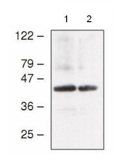 Western blot - atpC antibody (ab65381)