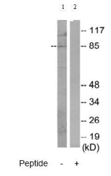 Western blot - MARK1 antibody (ab70128)