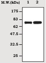 Western blot - A1BG antibody [51A6] (ab70782)