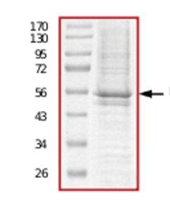 SDS-PAGE - IGF1 Receptor protein (Active) (ab71657)