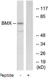 Western blot - BMX antibody (ab73887)