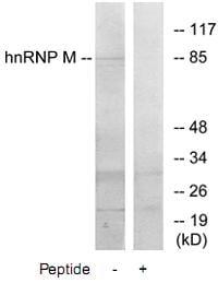Western blot - hnRNP M1-M4 antibody (ab73888)