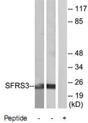 Western blot - SFRS3 antibody (ab73891)