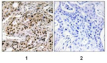 Immunohistochemistry (Formalin/PFA-fixed paraffin-embedded sections) - PDCD4 (phospho S457) antibody (ab74141)