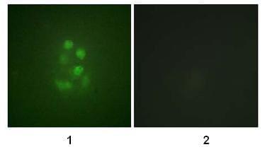 Immunocytochemistry/ Immunofluorescence - MCAK (phospho S95) antibody (ab74146)