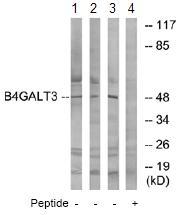Western blot - B4GALT3 antibody (ab74825)