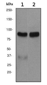 Western blot - Anti-Epsin 1 antibody [EPR3023] (ab75879)