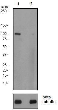 Western blot - SIRT1 (phospho S47) antibody [EPR2849Y] (ab76039)