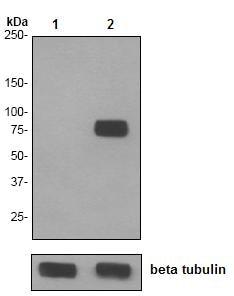 Western blot - Caldesmon (phospho S759) antibody [EPR2212] (ab76106)
