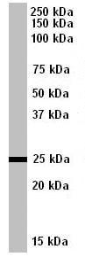 Western blot - IGFBP6 antibody (ab77362)