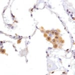 Immunohistochemistry (Formalin/PFA-fixed paraffin-embedded sections) - Anti-F4/80 antibody, prediluted (ab100791)