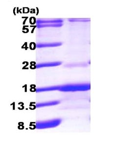 SDS-PAGE - RABIF protein (ab100886)