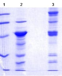 SDS-PAGE - Nucleobindin 2 protein (ab101042)