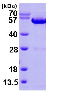 SDS-PAGE - Annexin A11 protein (ab101050)