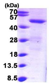 SDS-PAGE - SNX1 protein (ab101061)