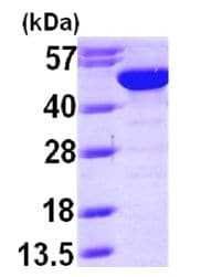 SDS-PAGE - BLMH protein (ab101205)