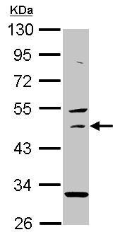 Western blot - USH1G antibody (ab101329)
