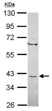Western blot - C8orf48 antibody (ab101366)