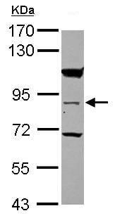 Western blot - RASEF antibody (ab101396)