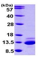 SDS-PAGE - CTNNBIP1 protein (ab101468)