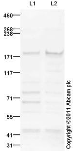 Western blot - Anti-NFKBIL2 antibody (ab101898)