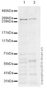 Western blot - Anti-ATR antibody (ab101900)