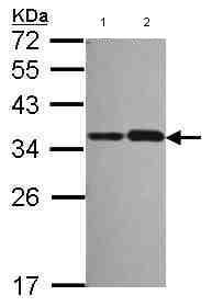 Western blot - NOSIP antibody (ab102087)