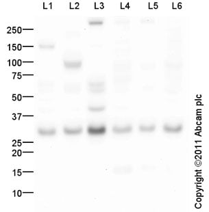 Western blot - Anti-14-3-3 gamma antibody (ab102673)