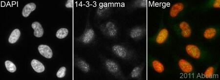 Immunocytochemistry/ Immunofluorescence - Anti-14-3-3 gamma antibody (ab102673)
